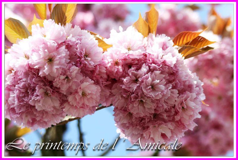 cerisierfleurpourleblogcopie
